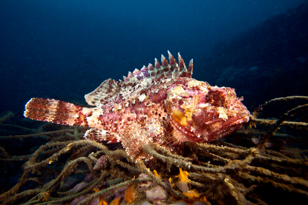 Pesce - Scorpaena porcus IMG_5889 (PM) (P213 2012)