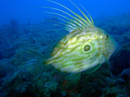 Pesce - Zeus faber DSCN7242 (PM) (P700 2008)