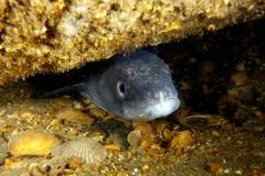 Pesce - Conger conger IMG_7778 (PM) (Burcio 2010)